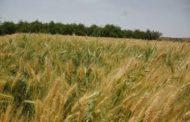تدشين حصاد محصول القمح بصعدة للموسم الزراعي ٢٠١٧ -٢٠١٨م