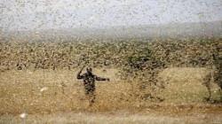 الجراد الصحراوي يهدد مصادر الأمن الغذائي بالسهل التهامي