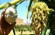 مسار المستقبل ... الزراعة التعاقدية في اليمن